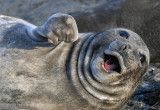 Elephant Seal,  Sea Lion Island  5