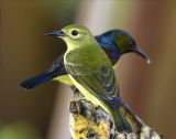 029 - Brown-throated Sunbird (female and male)
