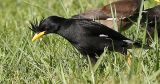004 - White-vented Myna