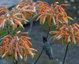 Hummingbird @ Aloe Vera