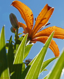 Under the Tiger Lily
