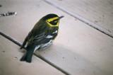 warbler, Townsend's Warbler