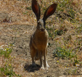 Hare, Black-tailed Jackrabbit, male (2 shots)