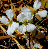 similiar to wild radish - Un-ID Wildflower