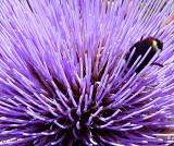 Thistle & Bumblebee