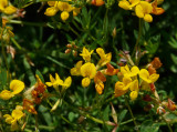 Birdsfoot Trefoil (2 images - close up)