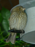 Snoozing House Finch
