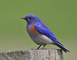 Bluebirds, Thrushes, New World Robins