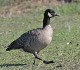 091101 Goose 5501.jpg