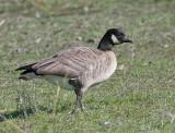 091101 Goose 5476.jpg