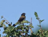 Yellow-shouldered Widowbird