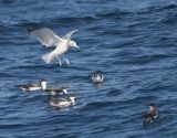 Buller's Shearwaters and California Gull