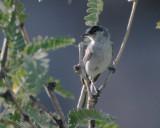 Black-capped Gnatcatcher