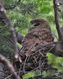 Spotted Owl (Mexican)