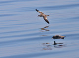 Buller's Shearwater and Northern Fulmar