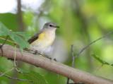 1st fall male American Redstart, Mead Gardens,Fl.