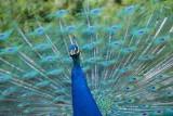 Paon bleu - Indian peafowl  - Pavo cristatus