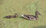 Mallard with duckling