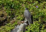 Gyrfalcon / Falco rusticolus / Jaktfalk