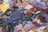 Redwing / Turdus iliacus / Rödvingetrast