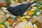 Blackbird / Turdus merula / Koltrast