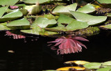 lilies reflections2.JPG