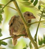 sparrow baby3.JPG