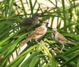 sparrows on palm.JPG