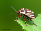 Stink Bugs - Pentatomidae