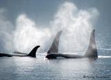Orcas 2a.jpg