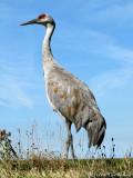 Cranes, Rails and Coots