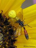 Misumenops celer with Pemphredonine wasp 1a.jpg