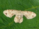 Uraniid Moths - Uraniidae