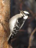 Downy Woodpecker female 9a.jpg
