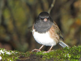 Dark-eyed Junco Oregon race 6a.jpg