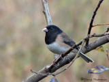 Dark-eyed Junco Oregon race 8a.jpg