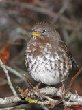 Fox Sparrow - West Coast supspecies 8a.jpg