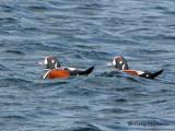 Harlequin Ducks 7b.jpg