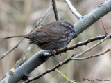 Song Sparrow - West Coast supspecies 18a.jpg