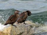 Harlequin Ducks 1.jpg