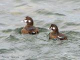 Harlequin Ducks 3.jpg