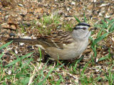 White-crowned Sparrow 1a.jpg