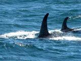 Orca pod 6.jpg