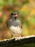Dark-eyed Junco 7.jpg