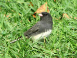 Dark-eyed Junco 8.jpg