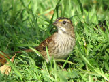 White-throated Sparrow immature 2.jpg