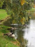 Canada Geese at Hawrelak Park 1.jpg