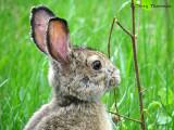 Varying Hare 8a.jpg