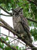 Great Horned Owl 13b.jpg