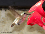 Calliope Hummingbird female in flight 1a.jpg